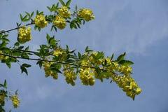 fiori gialli del tipo di pisello del maggiociondolo contro il cielo Fotografia Stock