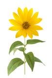 Fiori gialli del topinambur Immagini Stock