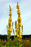 Fiori gialli del verbascum Fotografia Stock Libera da Diritti