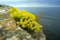 Fiori gialli dell'alyssum dell'arbusto Fotografia Stock Libera da Diritti