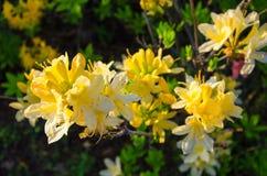 Fiori gialli dell'azalea su un fondo verde immagini stock