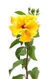 Fiori gialli dell'ibisco Fotografie Stock Libere da Diritti