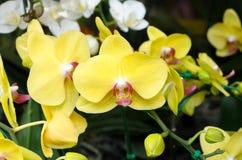 Fiori gialli dell'orchidea Fotografia Stock