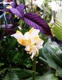 Fiori gialli dell'orchidea Immagini Stock