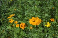 Fiori gialli dell'universo immagini stock libere da diritti