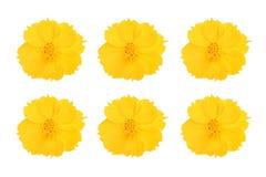 Fiori gialli dell'universo messi su fondo bianco Immagine Stock