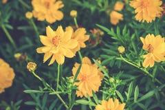 Fiori gialli dell'universo, tono d'annata Immagine Stock