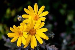 Fiori gialli della margherita Immagine Stock