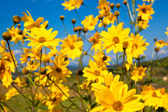 Fiori gialli della margherita Fotografie Stock