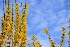 Fiori gialli della molla Immagini Stock