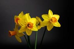 Fiori gialli della molla Fotografia Stock Libera da Diritti