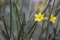 Fiori gialli della molla Immagini Stock Libere da Diritti