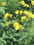 Fiori gialli della molla Immagine Stock Libera da Diritti