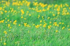 Fiori gialli della primavera Immagine Stock