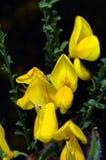 Fiori gialli della scopa fotografia stock