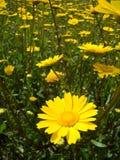 Fiori gialli della sorgente Immagini Stock