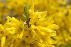 Fiori gialli della molla sull'albero fotografia stock libera da diritti