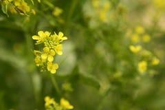 Fiori gialli di Aiba del Sinapis del fiore della senape e pla Immagini Stock
