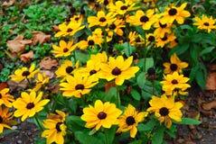 Fiori gialli di autunno Fotografia Stock