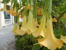 Fiori gialli di Brugmansia Immagine Stock