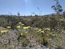 Fiori gialli di Dessrt fotografia stock