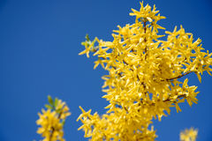 Fiori gialli di forsythia contro il cielo blu Immagine Stock