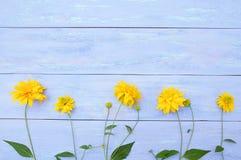 Fiori gialli di Heliopsis su fondo di legno blu immagini stock libere da diritti