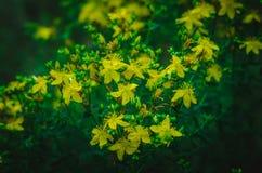 Fiori gialli di iperico di iperico nella penombra di predawn Mezz'ora della radura della foresta di estate prima di alba Fucilazi fotografia stock libera da diritti