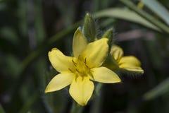 Fiori gialli di Lonifolia di hypoxis fotografia stock