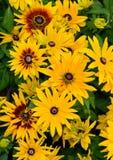 Fiori gialli di margherita gialla di Rudbeckia Fotografia Stock