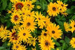 Fiori gialli di margherita gialla di Rudbeckia Immagine Stock