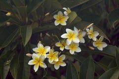 Fiori gialli di Plumeria Immagine Stock