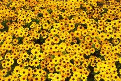 Fiori gialli di rudbeckia Immagine Stock Libera da Diritti