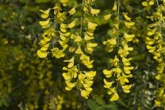 Fiori gialli di un albero della catena dorata Fotografia Stock