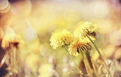Fiori gialli di un dente di leone Fotografie Stock Libere da Diritti