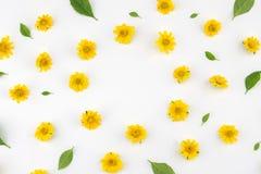 Fiori gialli di Wedelia con il modello delle foglie verdi Fotografia Stock Libera da Diritti