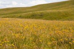 Fiori gialli, Drakensberg Fotografie Stock