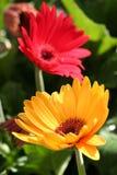 Fiori gialli e rossi fotografie stock libere da diritti