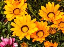 Fiori gialli ed arancio di gazania Fotografia Stock