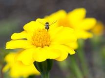 Fiori gialli ed arancio e Hoverfly del tagete Fotografie Stock Libere da Diritti