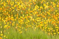 Fiori gialli ed arancioni Fotografia Stock