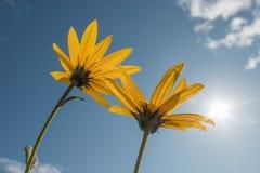Fiori gialli fino a cielo blu immagine stock