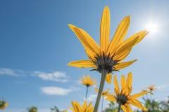 Fiori gialli fino a cielo blu fotografia stock libera da diritti