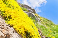 Fiori gialli fra le pietre in montagne contro il backgroun Fotografia Stock Libera da Diritti