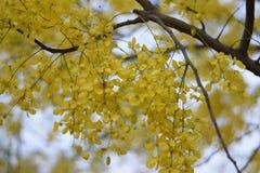 Fiori gialli freschi di estate in maharashtra India immagini stock