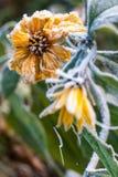 Fiori gialli gelidi Fotografia Stock