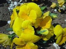 Fiori gialli in giardino immagini stock libere da diritti