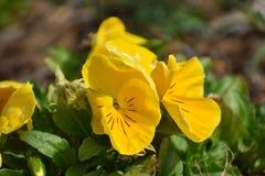 Fiori gialli in Granbury il Texas Fotografia Stock Libera da Diritti