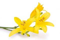 Fiori gialli isolati Fotografie Stock Libere da Diritti