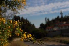 fiori gialli lanuginosi con fondo vago immagini stock libere da diritti